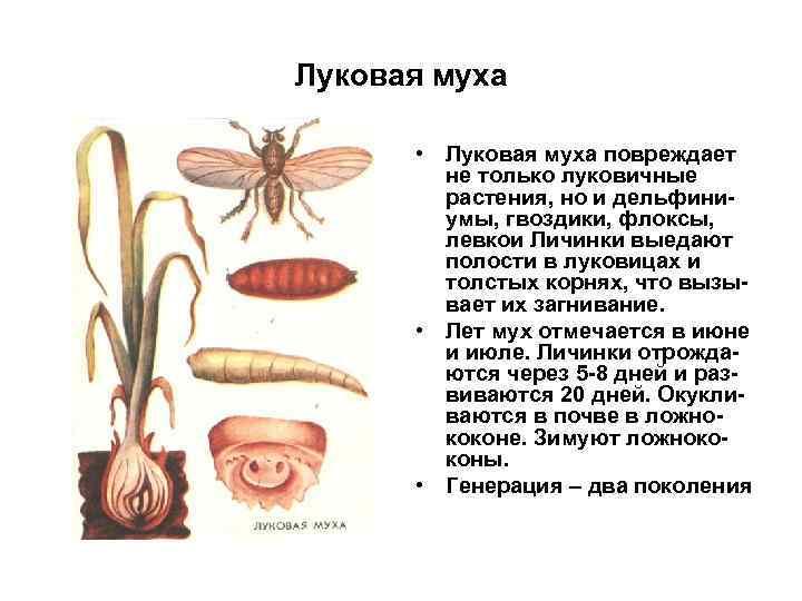 Луковая муха • Луковая муха повреждает не только луковичные растения, но и дельфиниумы, гвоздики,