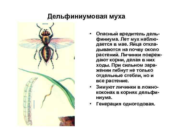 Дельфиниумовая муха • Опасный вредитель дельфиниума. Лет мух наблюдается в мае. Яйца откладываются на