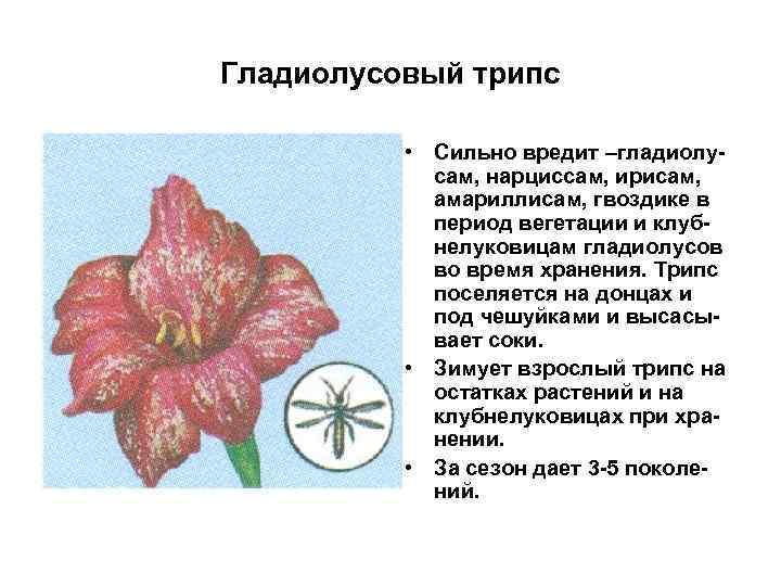 Гладиолусовый трипс • Сильно вредит –гладиолусам, нарциссам, ирисам, амариллисам, гвоздике в период вегетации и