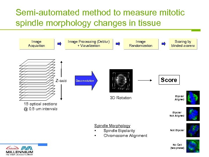 Semi-automated method to measure mitotic spindle morphology changes in tissue Image Acquisition Image Processing