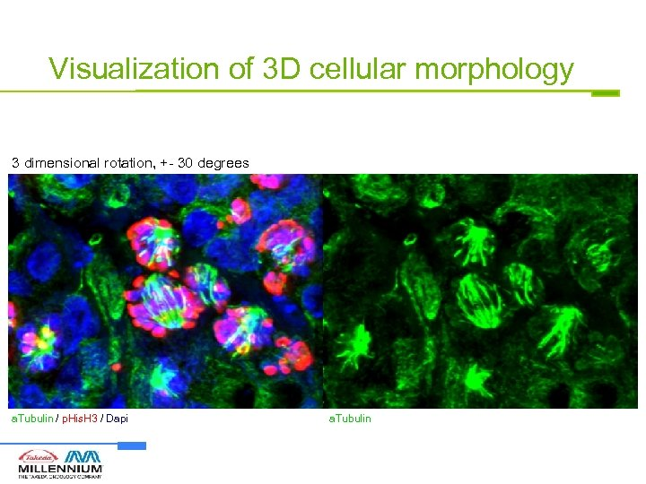 Visualization of 3 D cellular morphology 3 dimensional rotation, +- 30 degrees a. Tubulin