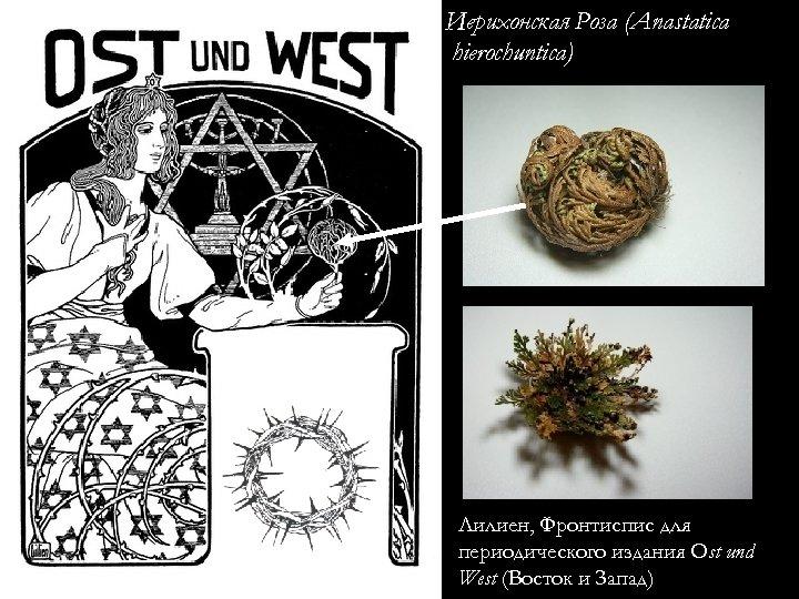 Иерихонская Роза (Anastatica hierochuntica) Лилиен, Фронтиспис для периодического издания Ost und West (Восток и