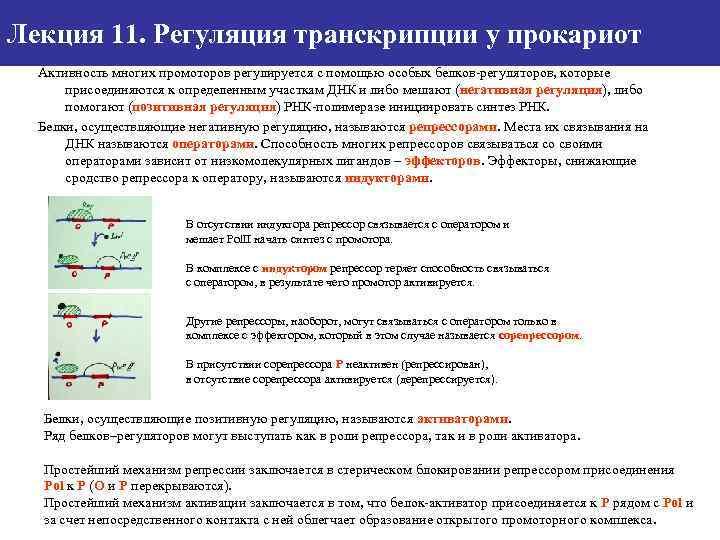 Лекция 11. Регуляция транскрипции у прокариот Активность многих промоторов регулируется с помощью особых белков-регуляторов,
