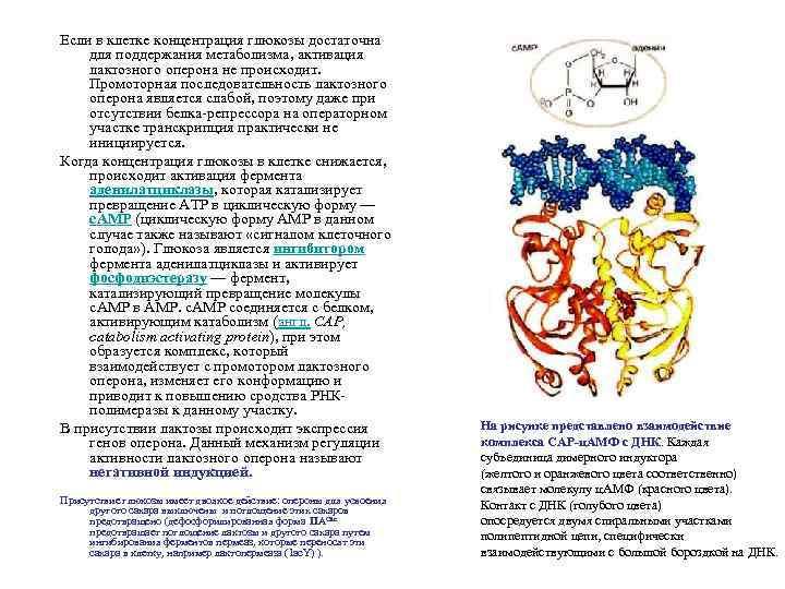 Если в клетке концентрация глюкозы достаточна для поддержания метаболизма, активация лактозного оперона не происходит.
