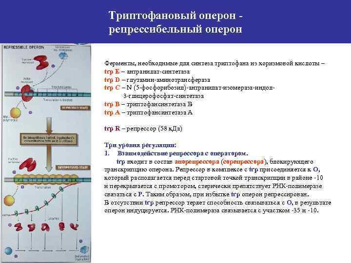 Триптофановый оперон репрессибельный оперон Ферменты, необходимые для синтеза триптофана из хоризмовой кислоты – trp