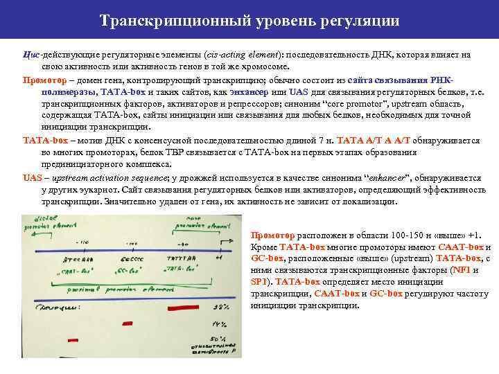 Транскрипционный уровень регуляции Цис-действующие регуляторные элементы (cis-acting element): последовательность ДНК, которая влияет на свою