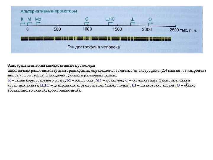 Альтернативные или множественные промоторы дают начало различным версиям транскрипта, определяемого геном. Ген дистрофина (2,