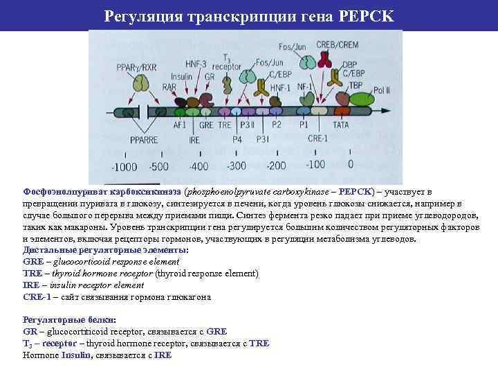 Регуляция транскрипции гена PEPCK Фосфоэнолпуриват карбоксикиназа (phosphoenolpyruvate carboxykinase – PEPCK) – участвует в превращении