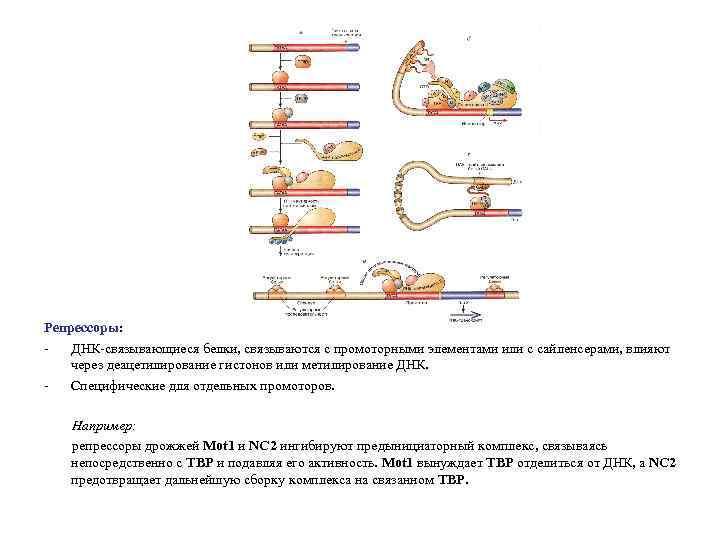 Репрессоры: ДНК-связывающиеся белки, связываются с промоторными элементами или с сайленсерами, влияют через деацетилирование гистонов
