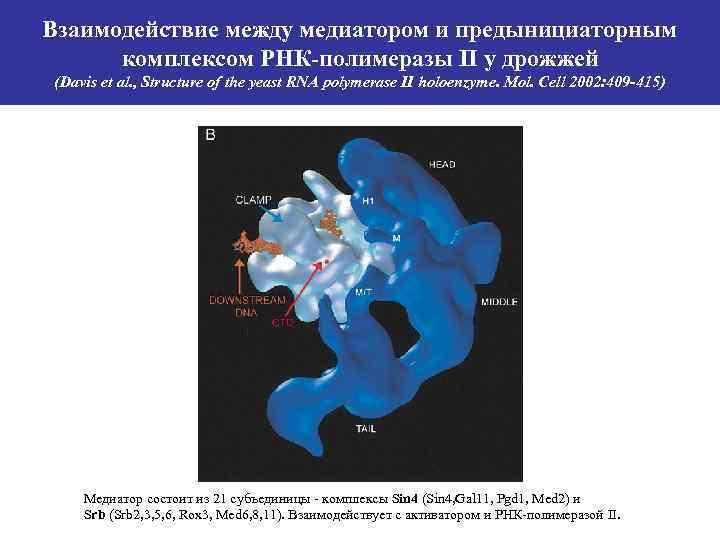 Взаимодействие между медиатором и предынициаторным комплексом РНК-полимеразы II у дрожжей (Davis et al. ,