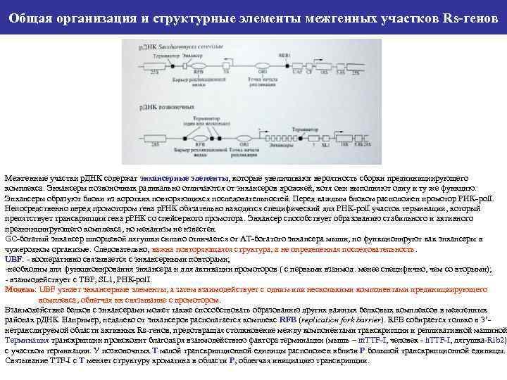 Общая организация и структурные элементы межгенных участков Rs-генов Межгенные участки р. ДНК содержат энхансерные