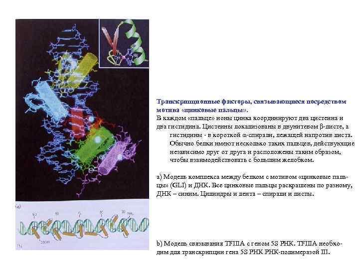 Транскрипционные факторы, связывающиеся посредством мотива «цинковые пальцы» . В каждом «пальце» ионы цинка координируют