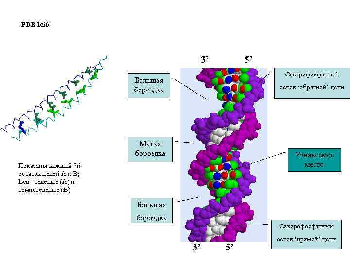 PDB 1 ci 6 3' 5' Сахарофосфатный Большая бороздка остов 'обратной' цепи Малая бороздка