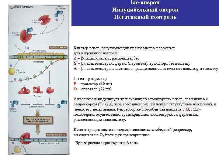 lac-оперон Индуцибельный оперон Негативный контроль Кластер генов, регулирующих производство ферментов для деградации лактозы: Z