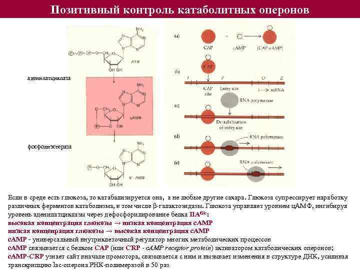 Позитивный контроль катаболитных оперонов аденилатциклаза фосфодиэстераза Если в среде есть глюкоза, то катабализируется она,