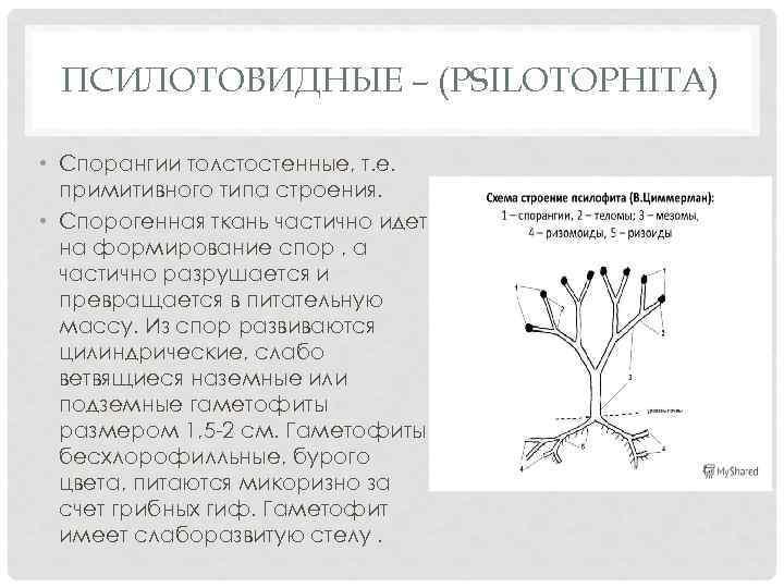 ПСИЛОТОВИДНЫЕ – (PSILOTOPHITA) • Спорангии толстостенные, т. е. примитивного типа строения. • Спорогенная ткань