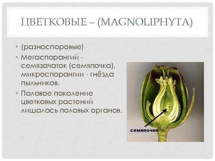 ЦВЕТКОВЫЕ – (MAGNOLIPHYTA) • (разноспоровые) • Мегаспорангий семязачаток (семяпочка), микроспорангии - гнёзда пыльников. •