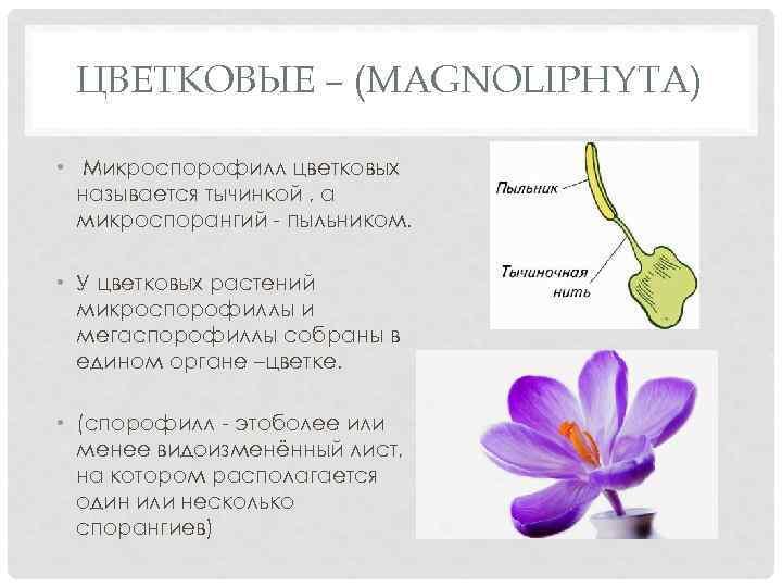 ЦВЕТКОВЫЕ – (MAGNOLIPHYTA) • Микроспорофилл цветковых называется тычинкой , а микроспорангий - пыльником. •