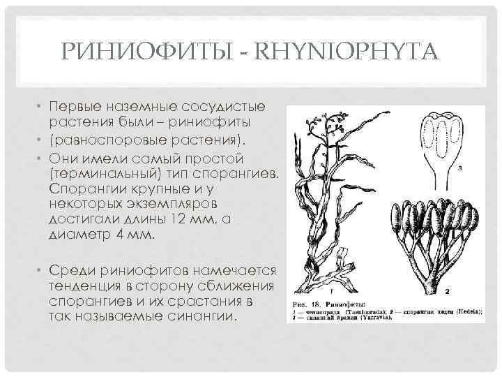 РИНИОФИТЫ - RHYNIOPHYTA • Первые наземные сосудистые растения были – риниофиты • (равноспоровые растения).
