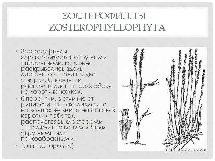 ЗОСТЕРОФИЛЛЫ ZOSTEROPHYLLOPHYTA • Зостерофиллы характеризуются округлыми спорангиями, которые раскрывались вдоль дистальной щели на две