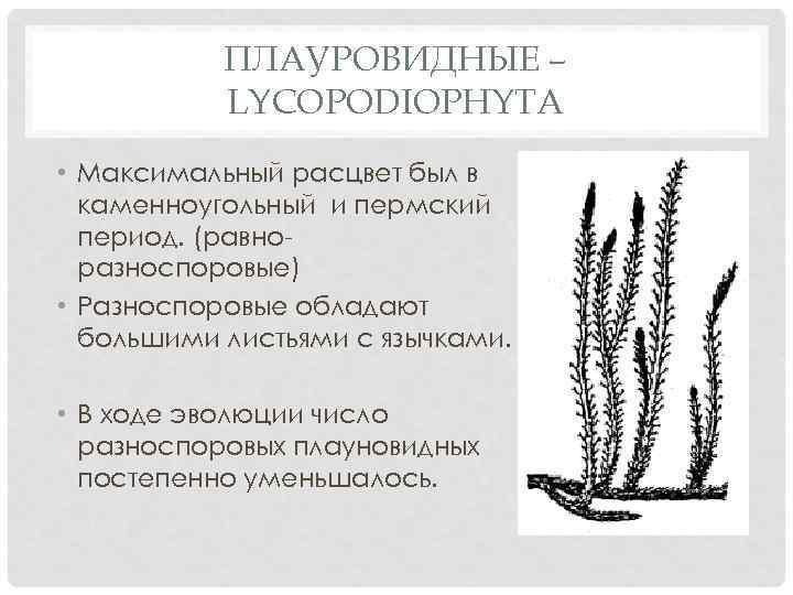 ПЛАУРОВИДНЫЕ – LYCOPODIOPHYTA • Максимальный расцвет был в каменноугольный и пермский период. (равноразноспоровые) •