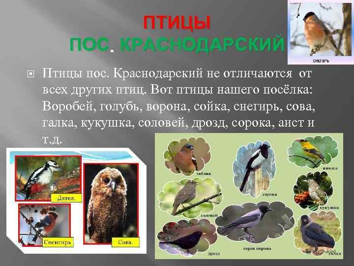 ПТИЦЫ ПОС. КРАСНОДАРСКИЙ Птицы пос. Краснодарский не отличаются от всех других птиц. Вот птицы