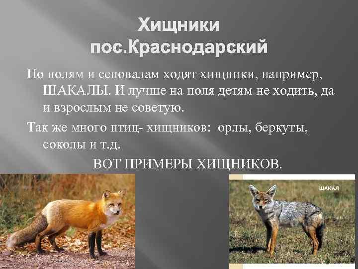 Хищники пос. Краснодарский По полям и сеновалам ходят хищники, например, ШАКАЛЫ. И лучше на