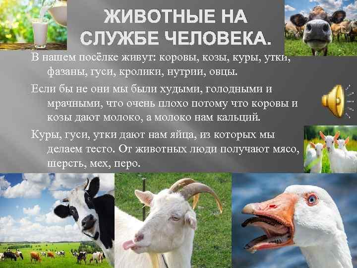 ЖИВОТНЫЕ НА СЛУЖБЕ ЧЕЛОВЕКА. В нашем посёлке живут: коровы, козы, куры, утки, фазаны, гуси,