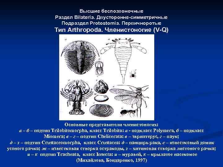 Высшие беспозвоночные Раздел Bilateria. Двусторонне-симметричные Подраздел Protostomia. Первичноротые Тип Arthropoda. Членистоногие (V-Q) Основные представители