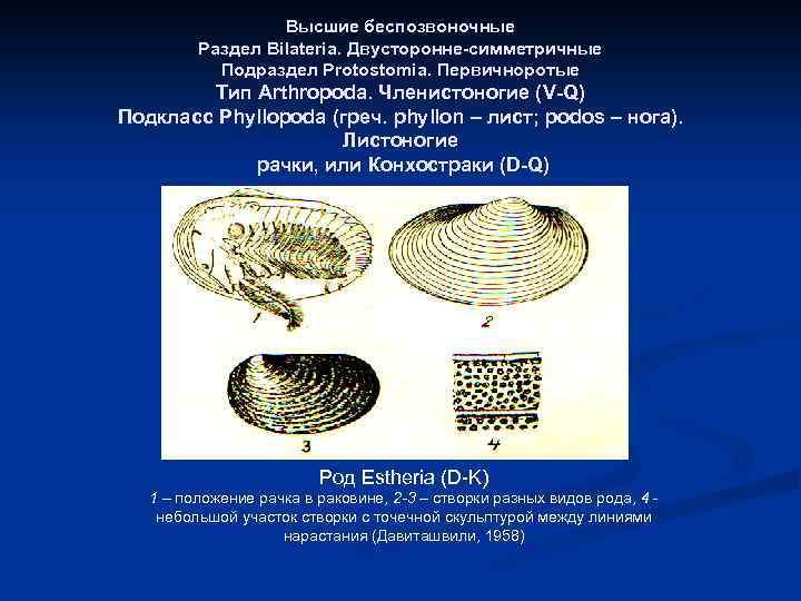 Высшие беспозвоночные Раздел Bilateria. Двусторонне-симметричные Подраздел Protostomia. Первичноротые Тип Arthropoda. Членистоногие (V-Q) Подкласс Phyllopoda