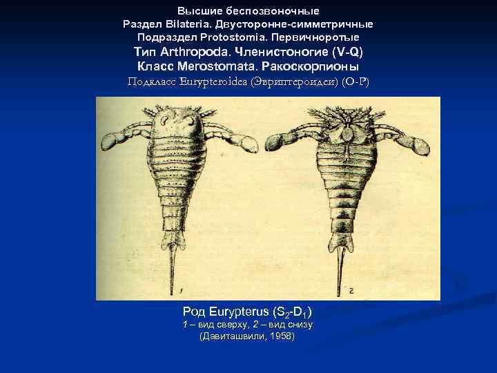 Высшие беспозвоночные Раздел Bilateria. Двусторонне-симметричные Подраздел Protostomia. Первичноротые Тип Arthropoda. Членистоногие (V-Q) Класс Merostomata.
