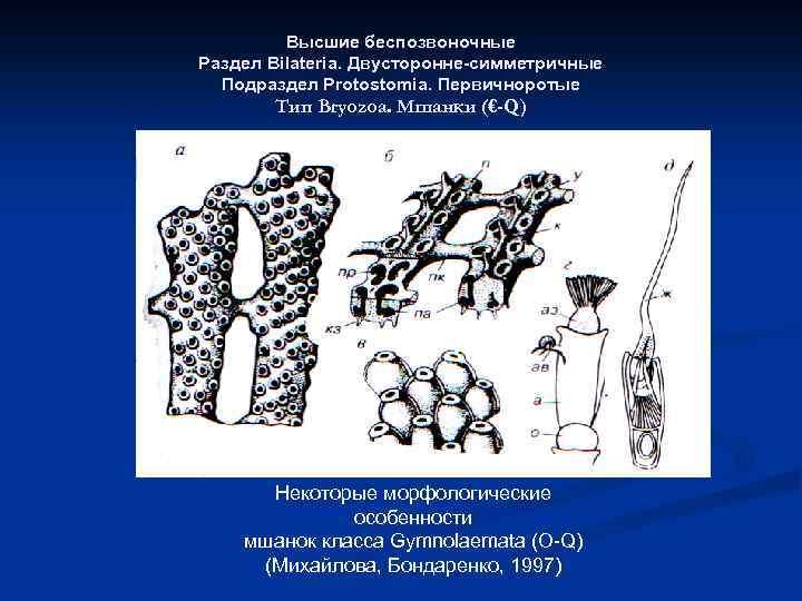 Высшие беспозвоночные Раздел Bilateria. Двусторонне-симметричные Подраздел Protostomia. Первичноротые Тип Bryozoa. Мшанки (€-Q) Некоторые морфологические