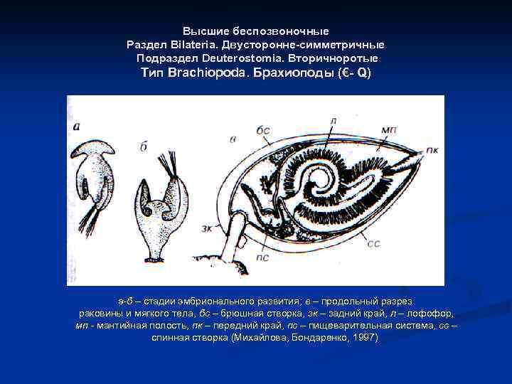 Высшие беспозвоночные Раздел Bilateria. Двусторонне-симметричные Подраздел Deuterostomia. Вторичноротые Тип Brachiopoda. Брахиоподы (€- Q) а-б