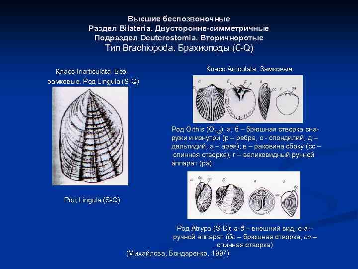 Высшие беспозвоночные Раздел Bilateria. Двусторонне-симметричные Подраздел Deuterostomia. Вторичноротые Тип Brachiopoda. Брахиоподы (€-Q) Класс Inarticulata.