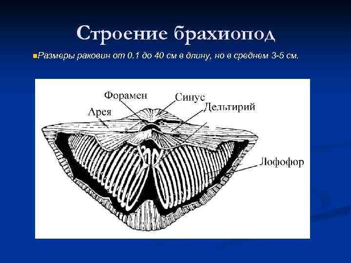 Строение брахиопод n. Размеры раковин от 0. 1 до 40 см в длину, но