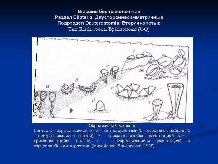 Высшие беспозвоночные Раздел Bilateria. Двустороннесимметричные Подраздел Deuterostomia. Вторичноротые Тип Brachiopoda. Брахиоподы (€-Q) Образ жизни