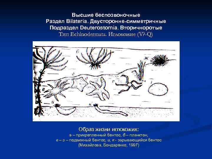 Высшие беспозвоночные Раздел Bilateria. Двусторонне-симметричные Подраздел Deuterostomia. Вторичноротые Тип Echinodermata. Иглокожие (V? -Q) Образ