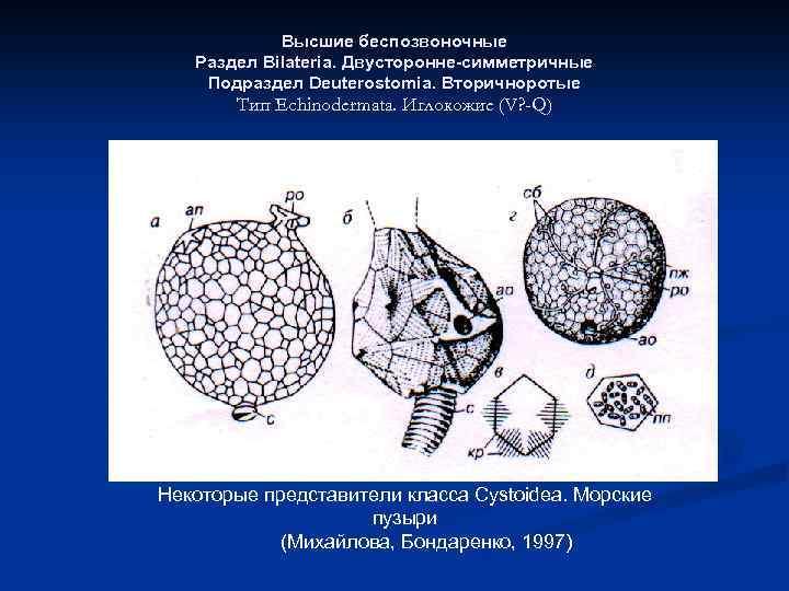 Высшие беспозвоночные Раздел Bilateria. Двусторонне-симметричные Подраздел Deuterostomia. Вторичноротые Тип Echinodermata. Иглокожие (V? -Q) Некоторые