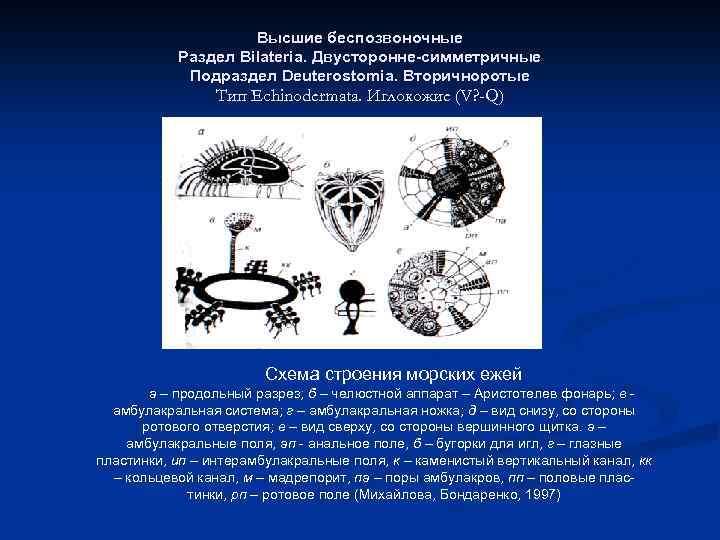 Высшие беспозвоночные Раздел Bilateria. Двусторонне-симметричные Подраздел Deuterostomia. Вторичноротые Тип Echinodermata. Иглокожие (V? -Q) Схема