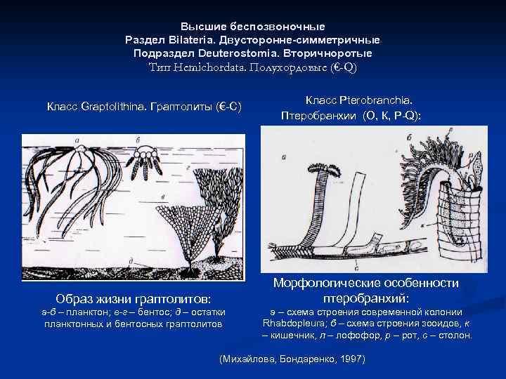 Высшие беспозвоночные Раздел Bilateria. Двусторонне-симметричные Подраздел Deuterostomia. Вторичноротые Тип Hemichordata. Полухордовые (€-Q) Класс Graptolithina.