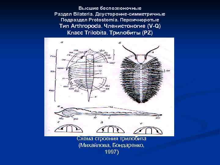 Высшие беспозвоночные Раздел Bilateria. Двусторонне-симметричные Подраздел Protostomia. Первичноротые Тип Arthropoda. Членистоногие (V-Q) Класс Trilobita.