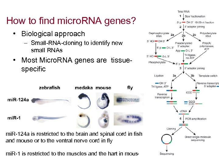 How to find micro. RNA genes? • Biological approach – Small-RNA-cloning to identify new
