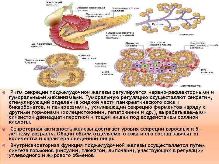 Ритм секреции поджелудочной железы регулируется нервно-рефлекторными и гуморальными механизмами. Гуморальную регуляцию осуществляют секретин,