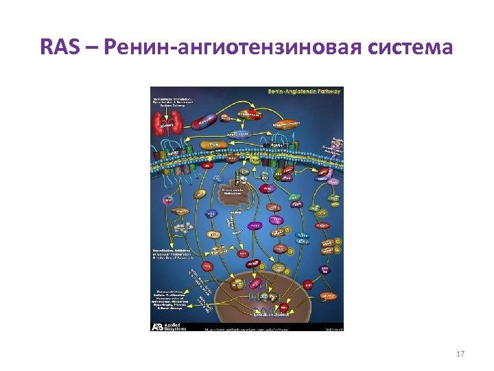 RAS – Ренин-ангиотензиновая система 17