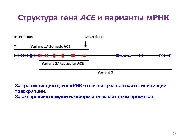 Структура гена ACE и варианты м. РНК За транскрипцию двух м. РНК отвечают разные