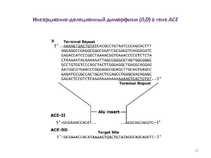 Инсерционно-делеционный диморфизм (ID) в гене ACE 25
