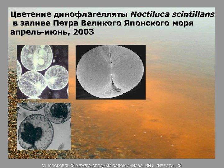 Цветение динофлагелляты Noctiluca scintillans в заливе Петра Великого Японского моря апрель-июнь, 2003 Viii МОСКОВСКИЙ