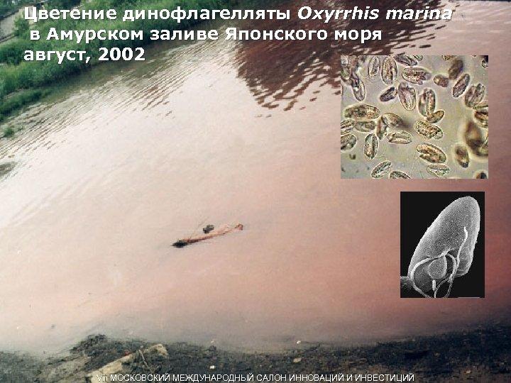 Цветение динофлагелляты Oxyrrhis marina в Амурском заливе Японского моря август, 2002 Viii МОСКОВСКИЙ МЕЖДУНАРОДНЫЙ