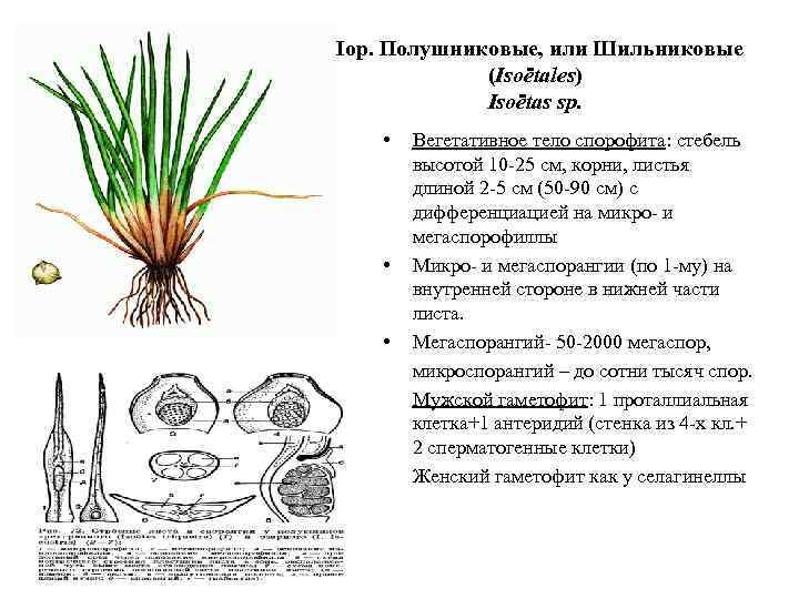 Пор. Полушниковые, или Шильниковые (Isoëtales) Isoëtas sp. • • • Вегетативное тело спорофита: стебель