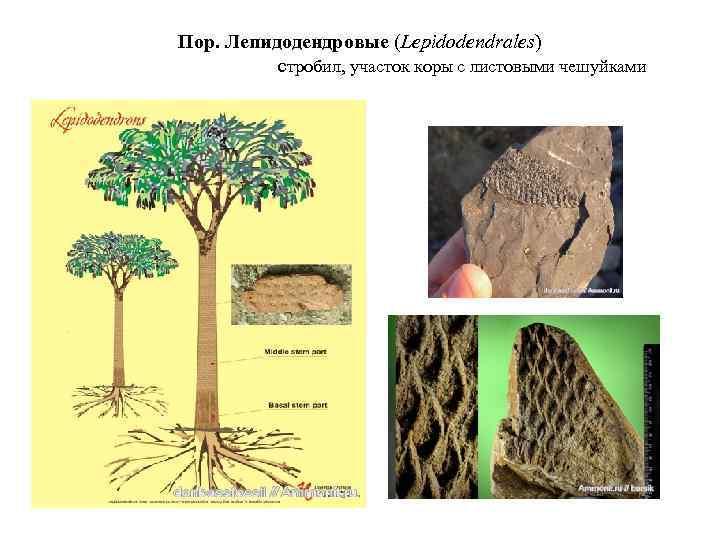 Пор. Лепидодендровые (Lepidodendrales) cтробил, участок коры с листовыми чешуйками